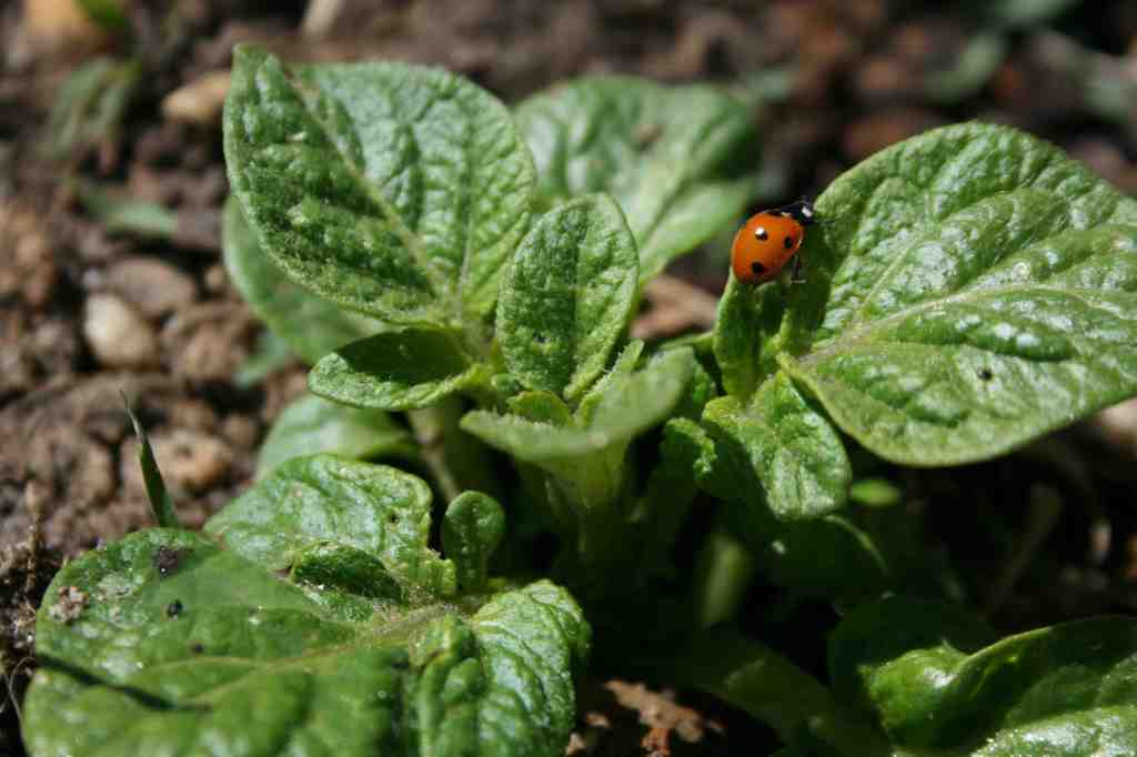 We were delighted to confirm this wasn't a Colorado Potato Beetle.