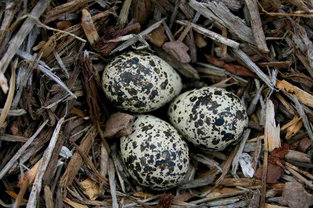 Kildeer Nest