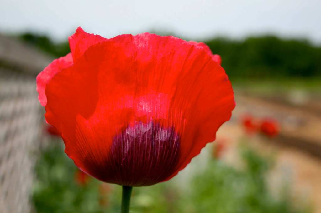 poppy at Lewis Ginter Botanical Garden