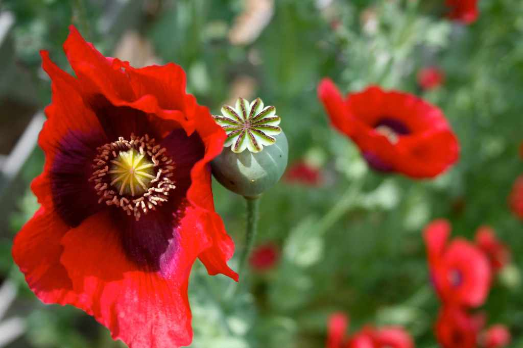poppies at Lewis Ginter Botanical Garden