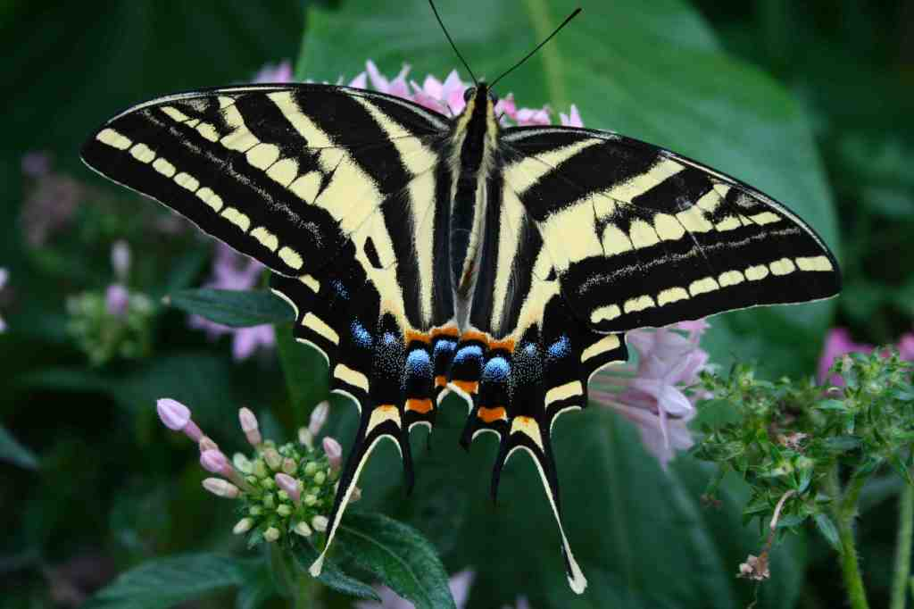 Three Tailed Swallowtail