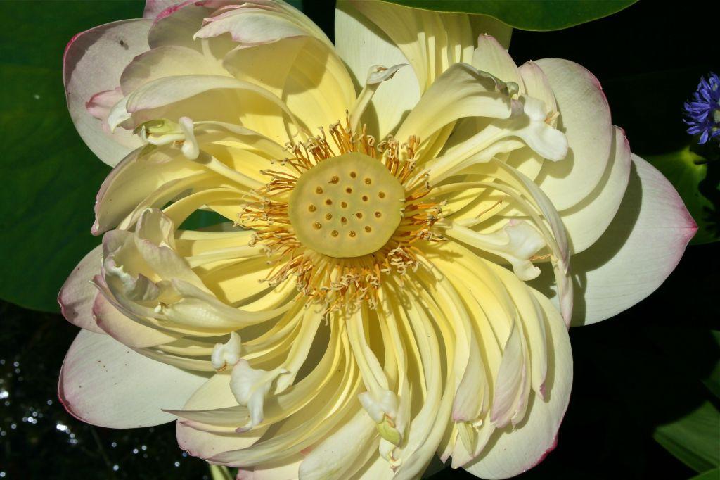 Sacred lotus (Nelumbo nucifera) 'Mrs. Perry D. Slocum'