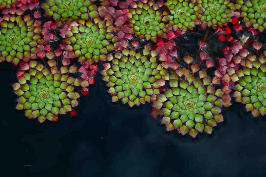 Mosaic Plant; Ludwegia sedioides