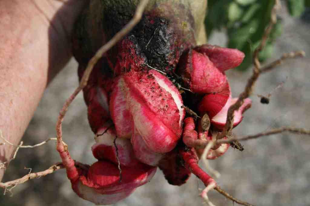 Radical Radish Roots