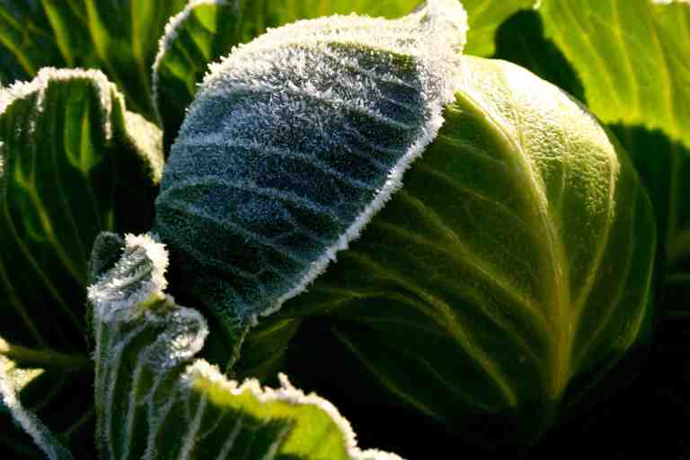 A bit of a deep freeze overnight, but this cabbage can shake off the cold.