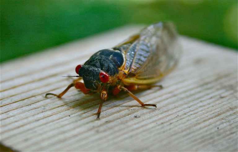 17 year cicada, Virginia, 2013.