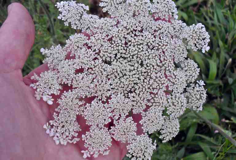 The non-native Queen Anne's Lace (Daucus carota) often accompanies the Texas thistle, because it likes dry, open areas.