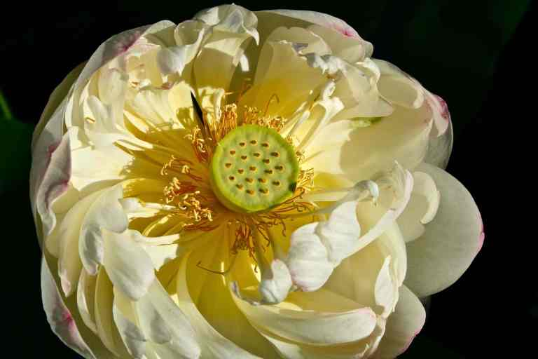 Sacred Lotus 2,  Lotus nelumbo,  'Mrs. Perry D. Slocum.""