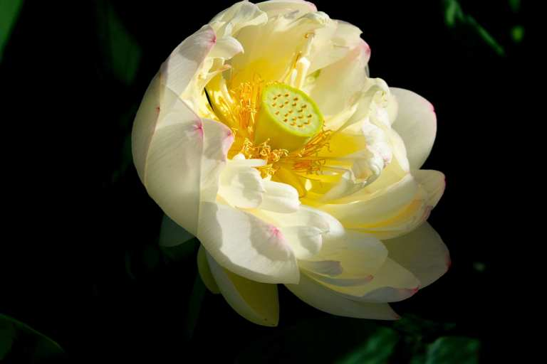 Sacred Lotus 1,  Lotus nelumbo,  'Mrs. Perry D. Slocum.""