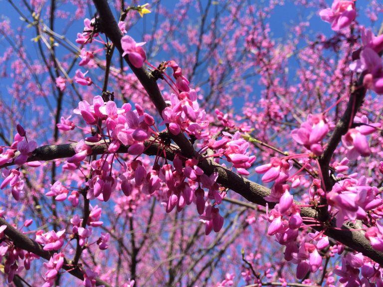 Eastern Redbud Blooms 041014