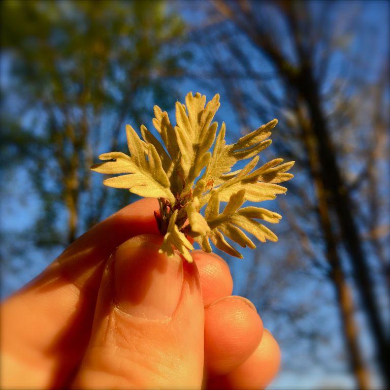 Baby Oak